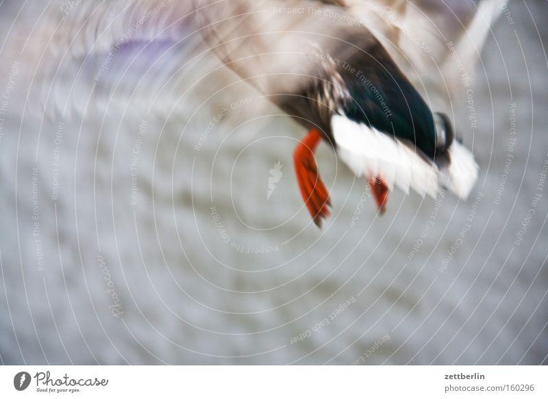 Unscharfe Ente fliegen Beginn Luftverkehr Schicksal Vogel Erpel