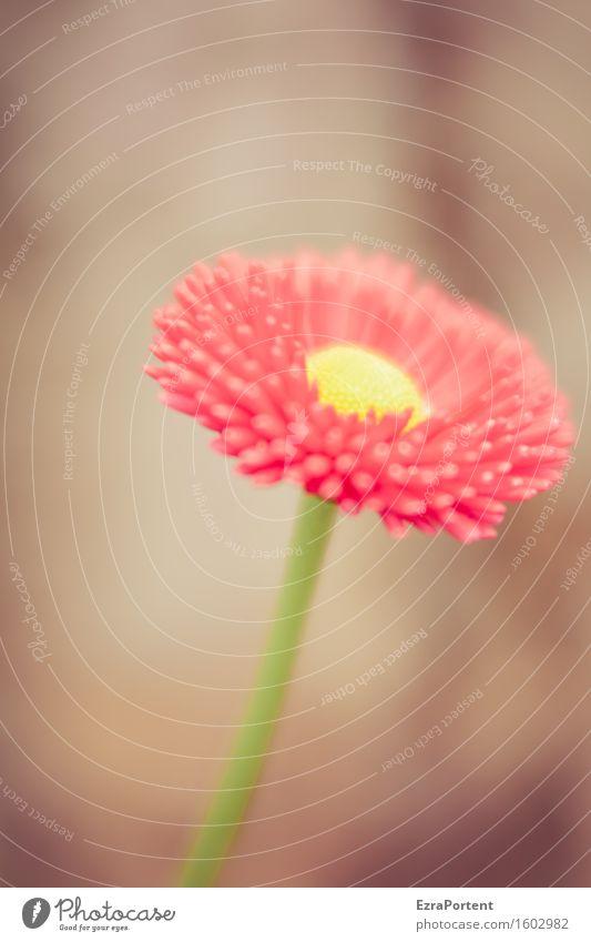 Tausendschönchen Natur Pflanze Frühling Sommer Blume Blüte Garten Blühend ästhetisch natürlich braun gelb grün rot Gänseblümchen Kosename Stengel Stempel