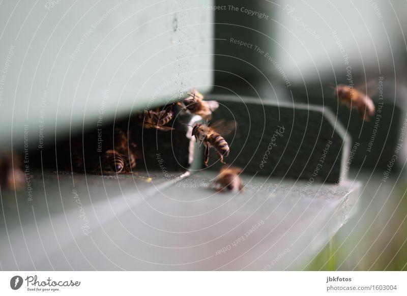 Flugbiene Lebensmittel Ernährung Umwelt Natur Tier Nutztier Biene Flügel Schwarm Aggression einzigartig Geschwindigkeit schön süß Imkerei Insekt Honig