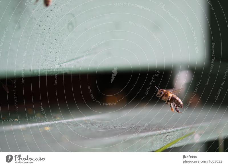 ab nach haus, der Winter kommt Haus Tier Essen Lebensmittel fliegen Hilfsbereitschaft Insekt Biene Aggression Plattenbau Erschöpfung Schwarm Pollen Block