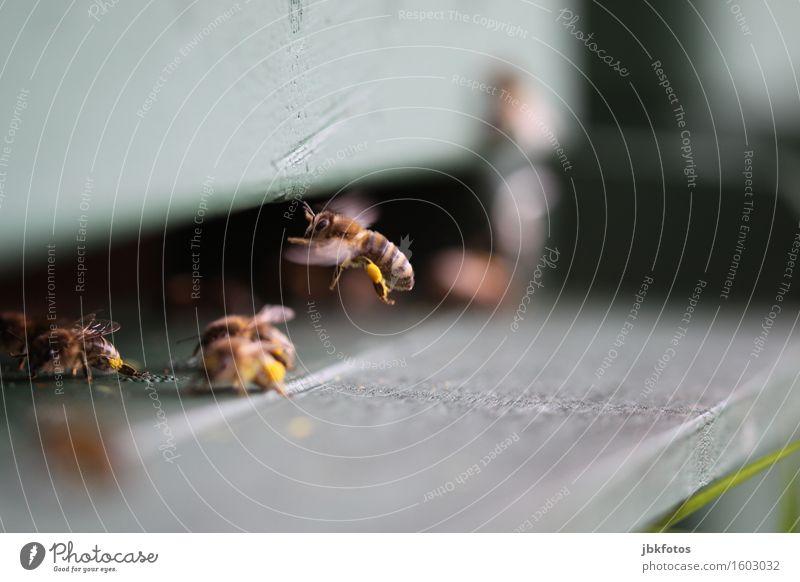Orientierung / nicht(s) verloren Lebensmittel Ernährung Umwelt Natur Tier Nutztier Biene Honigbiene trendy schön einzigartig Pollen Sammlung Landen Essen Futter