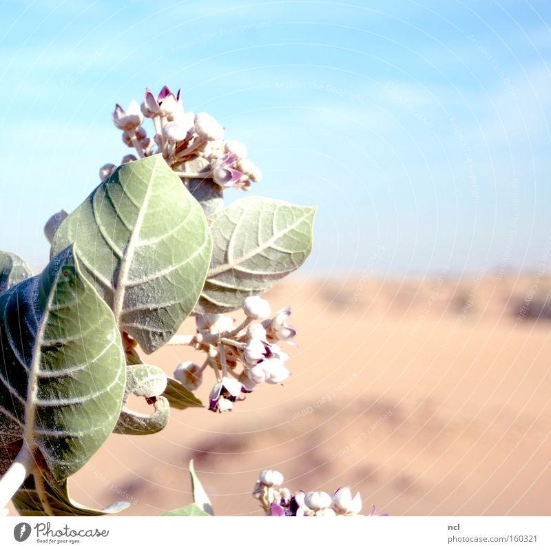 Wüstenblume Himmel Sonne Blume Pflanze Ferne Blüte Sand Erde Wüste Asien heiß Blühend trocken Dürre