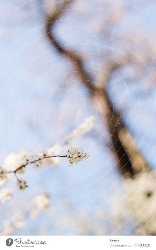 Blühen Umwelt Natur Himmel Wolkenloser Himmel Sonnenlicht Frühling Schönes Wetter Wärme Pflanze Baum Blume Blüte Nutzpflanze Obstbaum Zweig Kirschbaum