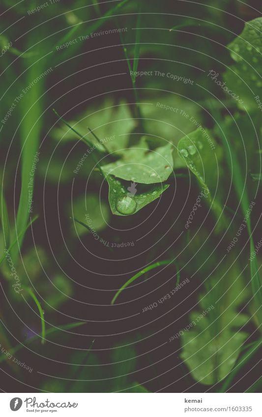 Nasse Zeiten Umwelt Natur Pflanze Wassertropfen Herbst Regen Gras Blatt Grünpflanze Wildpflanze Löwenzahn Wiese authentisch dunkel frisch nass natürlich grün