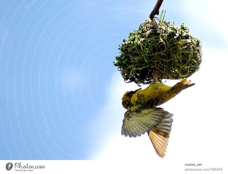 hang around Vogel Horst Nistkasten Nisthöhle Nest Nestbau gelb Futter füttern Luftverkehr bird