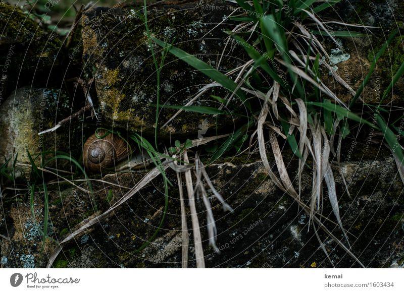 In hiding Umwelt Natur Tier Frühling Gras Mauer Mauerpflanze Steinmauer Schnecke Schneckenhaus Weinbergschnecken Weinbergschneckenhaus 1 sitzen alt authentisch