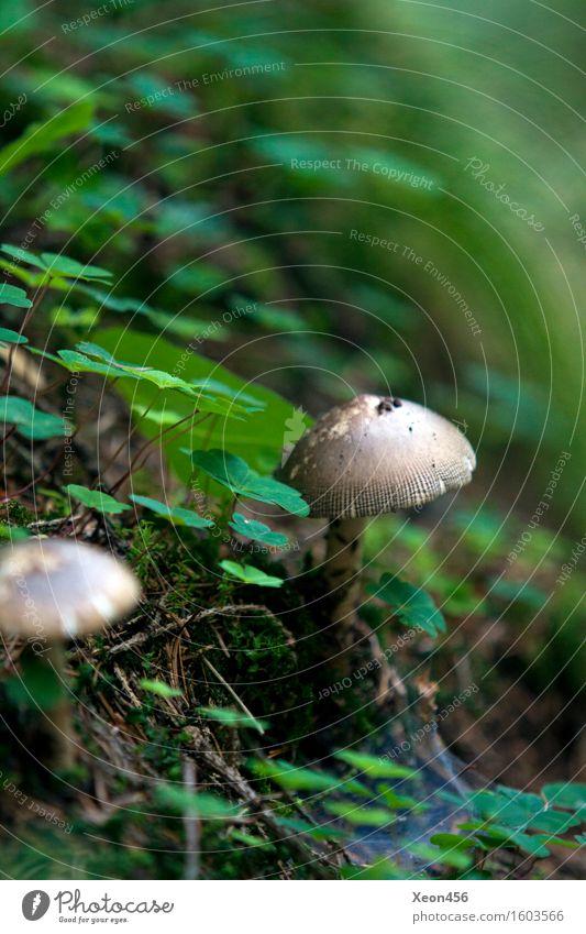 Leckerer Pilz Ernährung Bioprodukte Vegetarische Ernährung Umwelt Natur Landschaft Pflanze Tier Erde Sommer Klima Moos Blatt Wildpflanze Wald Hügel Felsen Alpen