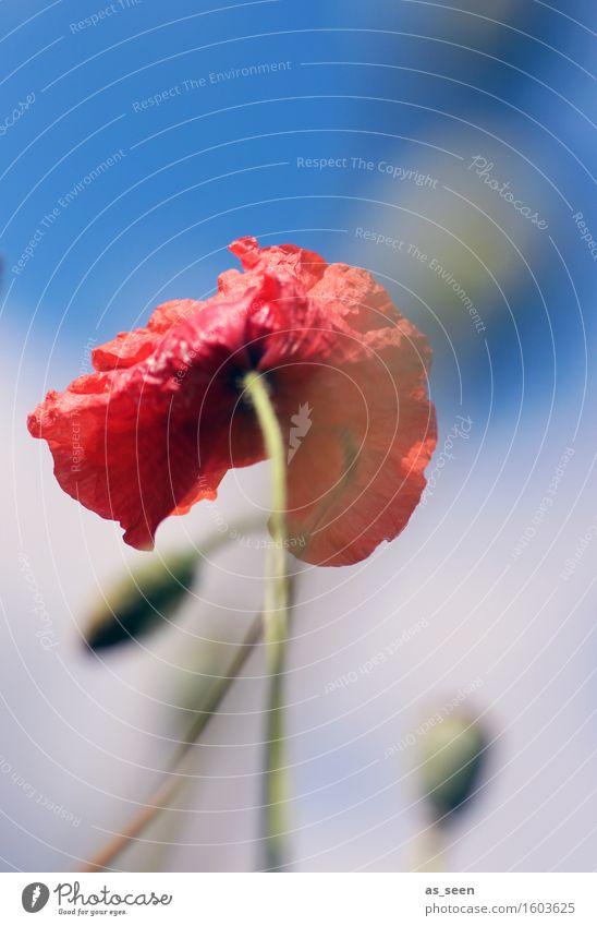 Mohn im Sommer harmonisch Meditation Ferien & Urlaub & Reisen Ausflug Freiheit Umwelt Natur Pflanze Luft Klima Wind Blume Gras Blüte Wildpflanze Mohnblüte