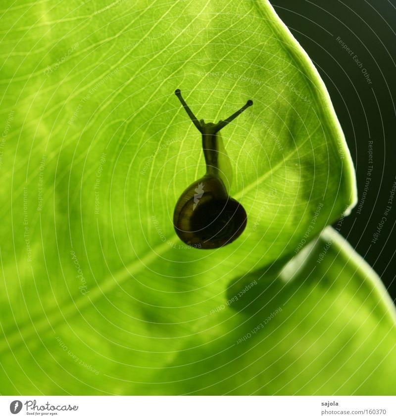 schneckentempo grün Pflanze Blatt Tier ästhetisch Schnecke Fühler geduldig langsam schleimig Botanischer Garten