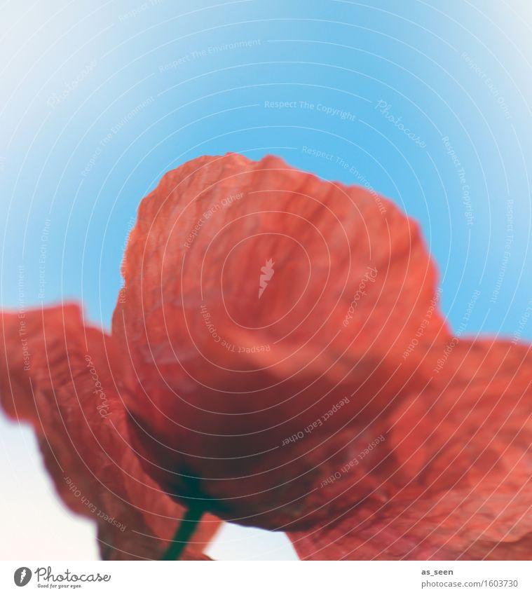 Mohn im Wind Lifestyle Gesundheit Leben harmonisch Ausflug Sommer Umwelt Natur Pflanze Blüte Wildpflanze Mohnblüte Mohnfeld Feld Blühend frisch natürlich blau