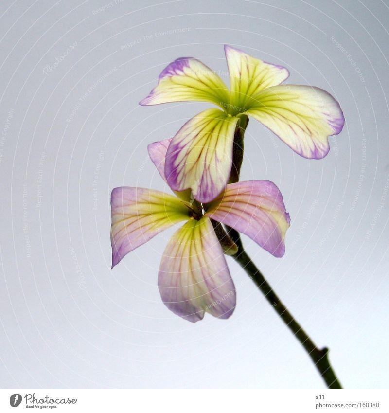 Viola Natur grün schön Pflanze Blume Freude Stil Frühling elegant modern paarweise zart violett Blüte Stengel Blütenblatt