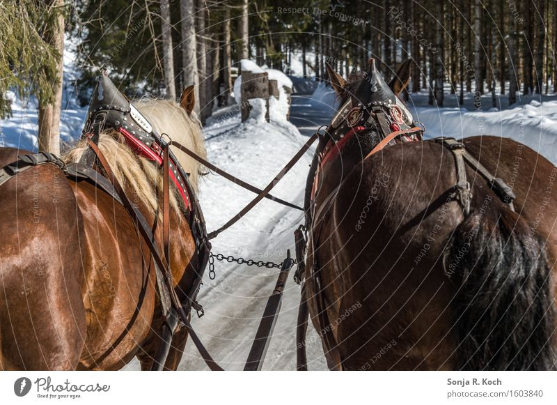 Kutschfahrt Ausflug Winter Schnee Winterurlaub Natur Schönes Wetter Wege & Pfade Pferdekutsche Tier 2 Bewegung Erholung festhalten sitzen braun grün schwarz