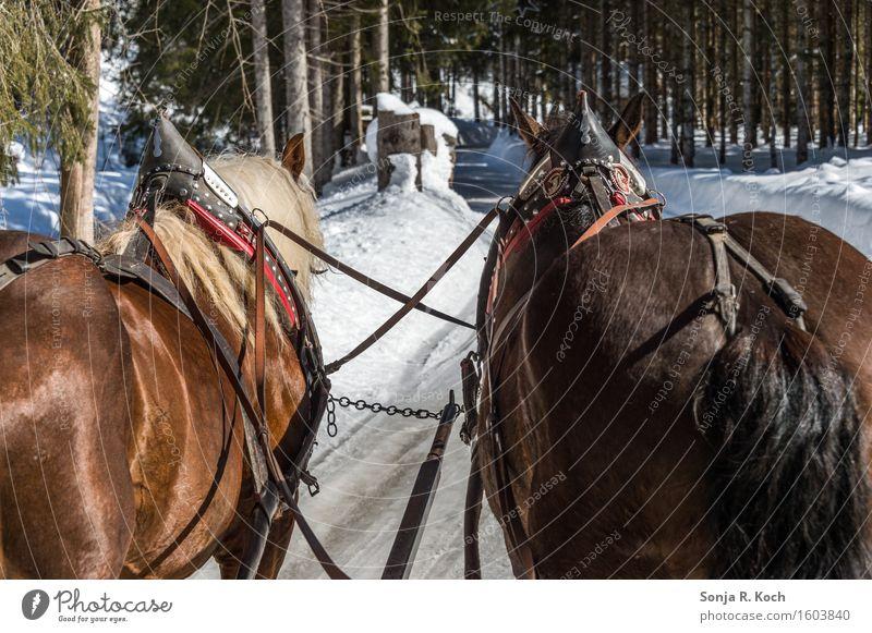 Kutschfahrt Natur grün weiß Erholung Tier Winter schwarz Wege & Pfade Bewegung Schnee braun sitzen Ausflug Schönes Wetter festhalten Pferd