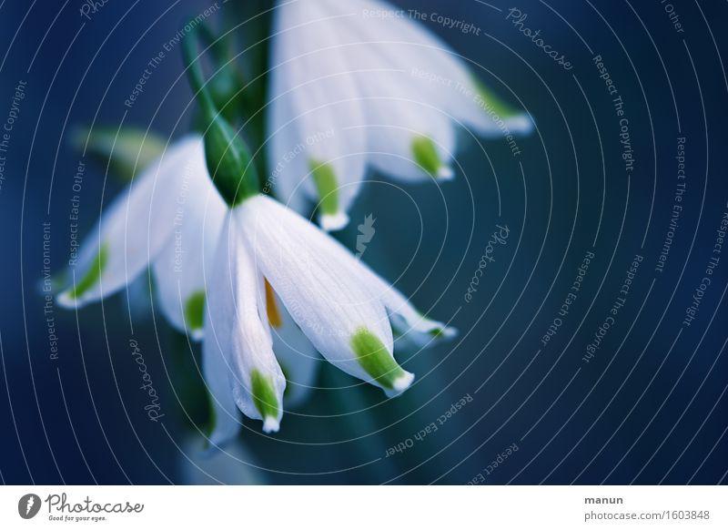 Frühlingsläuten Natur blau grün weiß Blume natürlich Feste & Feiern elegant ästhetisch Ostern positiv Frühlingsgefühle Muttertag Frühlingsblume Frühblüher