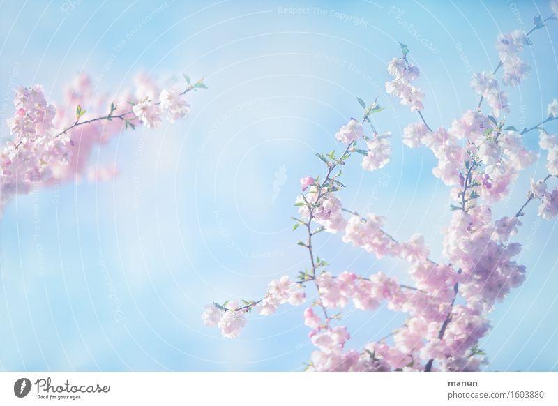 Ein Hauch von Frühling Himmel Natur blau Baum Blüte natürlich Feste & Feiern hell rosa Ostern türkis Frühlingsgefühle Muttertag Kirschblüten Frühblüher