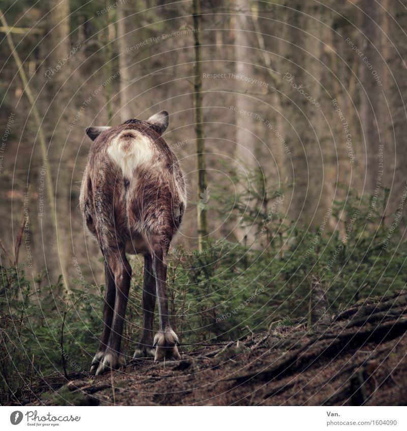 Good bye, my deer! Natur Pflanze Tier Frühling Baum Wald Wildtier Rentier Hirsche 1 gehen braun grün Hinterteil Farbfoto mehrfarbig Außenaufnahme Menschenleer