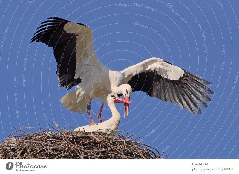 Storchenpaarung Natur Tier Vogel ästhetisch Frühlingsgefühle Brunft