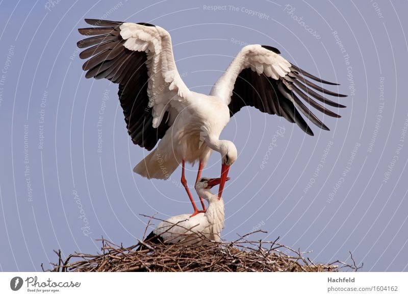 Storchenpaarung Natur Pflanze Erotik Tier Vogel Wildtier ästhetisch Frühlingsgefühle