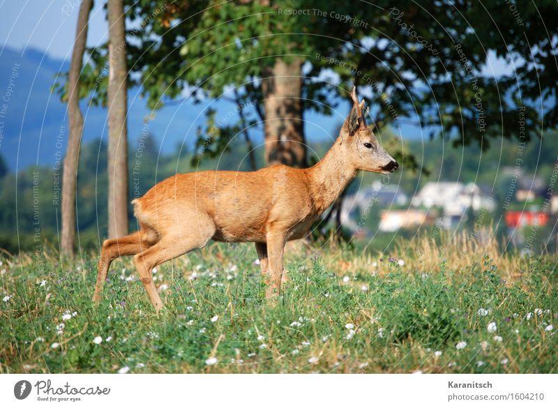 """Reh in Wien Ferien & Urlaub & Reisen Ausflug Freiheit Sommer Sommerurlaub wandern Umwelt Natur Pflanze Tier Baum Gras Park Wiese Wald Hügel Wildtier """"Säugetier"""