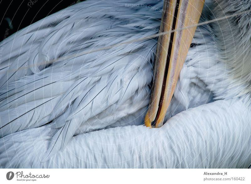 Pelikan Vogel Feder Schnabel Meer Fisch Zoo