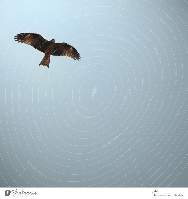 skydiver Vogel Tier Himmel Falken Greifvogel fliegen Jagd Habichte Bussard Milan Strand Küste Luftverkehr
