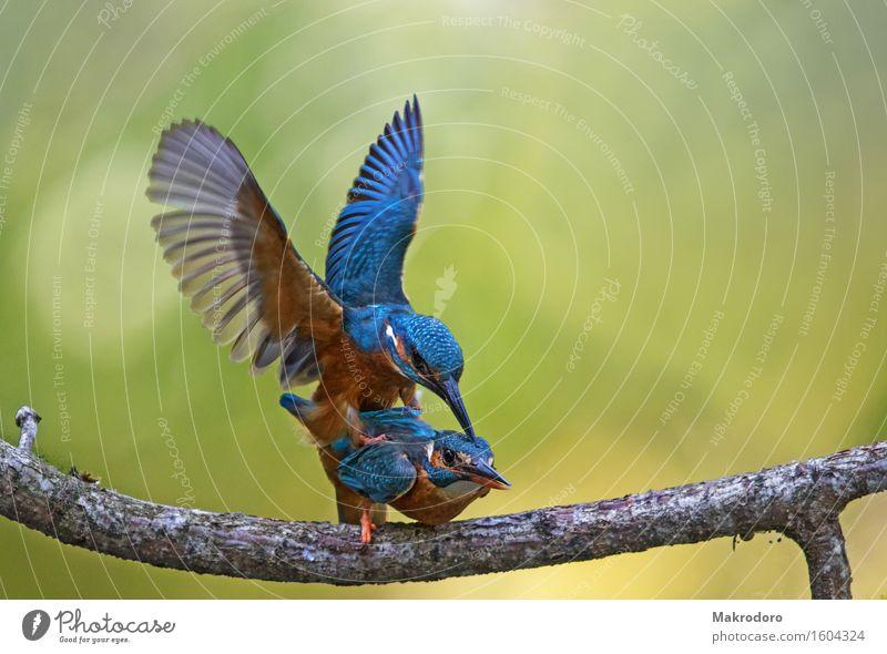 Glück Tier Vogel 2 Tierpaar genießen Liebe Sex Erotik Zusammensein positiv Gefühle Stimmung Freude Lebensfreude Frühlingsgefühle Leidenschaft Tierliebe Eisvögel