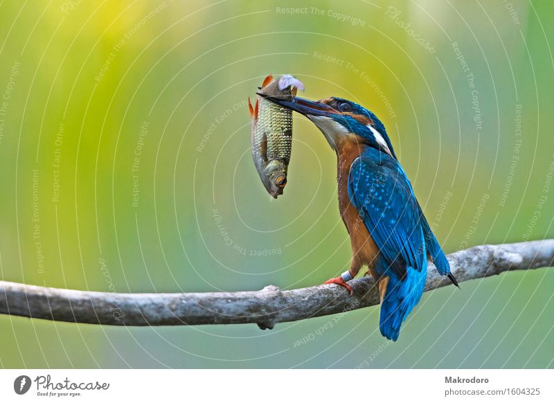 der Fang Tier Essen Vogel Erfolg lecker Jagd Eisvögel