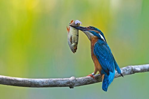 der Fang Tier Vogel 1 Essen Jagd lecker Erfolg Eisvögel Farbfoto mehrfarbig Außenaufnahme Tag Starke Tiefenschärfe