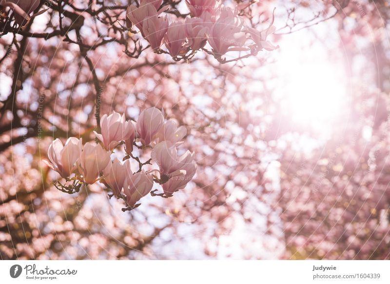 Ich mag Nolien III Umwelt Natur Sonne Frühling Sommer Schönes Wetter Pflanze Baum Sträucher Blüte Magnoliengewächse Garten Park hell Kitsch schön rosa Idylle