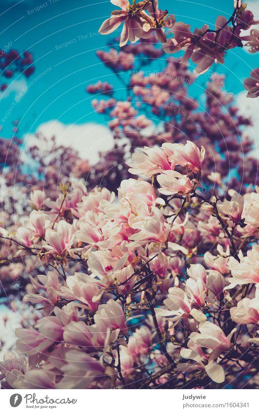 Ich mag Nolien II Umwelt Natur Himmel Frühling Sommer Pflanze Baum Blume Magnoliengewächse Magnolienbaum Magnolienblüte Garten Park Blühend Kitsch natürlich