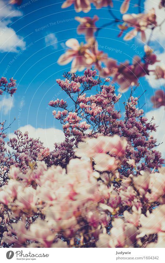 Magnolienmeer Umwelt Natur Pflanze Frühling Baum Blume Blüte Magnoliengewächse Garten Park Blühend Wachstum Kitsch schön blau rosa rein Reichtum Frühlingsbote