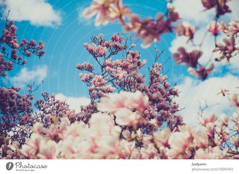 Ich mag Nolien Umwelt Natur Pflanze Himmel Wolken Frühling Schönes Wetter Blüte Magnolienbaum Magnolienblüte Park Kitsch natürlich schön Magnoliengewächse
