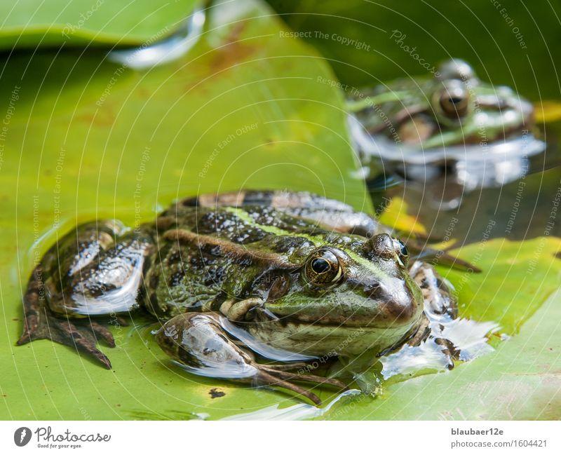 frog on leaf Tier Wildtier Frosch 2 Wasser Fährte grün Farbe Gelassenheit Natur Farbfoto Außenaufnahme Menschenleer Tag Sonnenlicht Tierporträt Blick