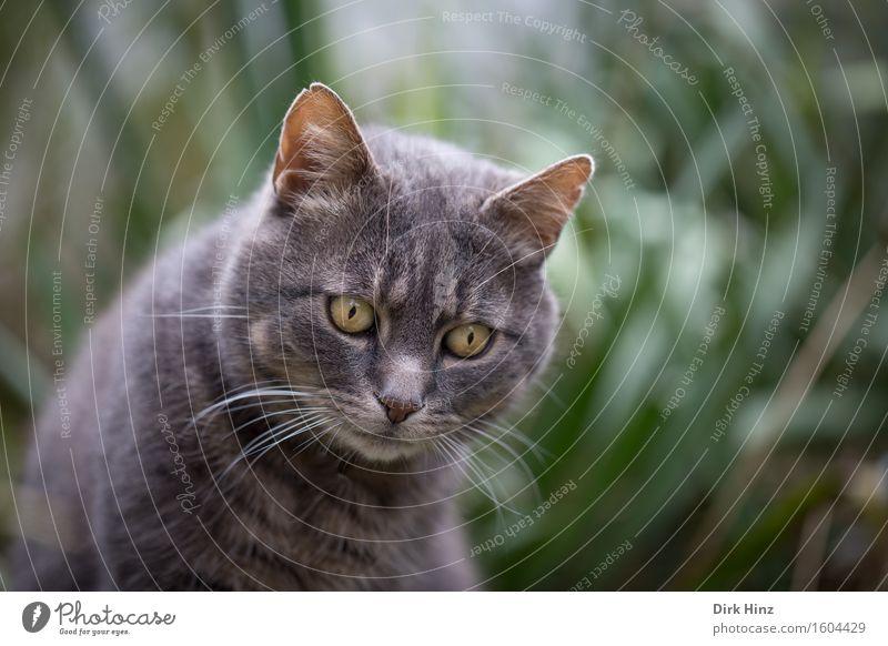 fixiert Freizeit & Hobby Häusliches Leben Natur Garten Tier Haustier Katze Tiergesicht Fell 1 Tierliebe Konzentration Blick beobachten fixieren warten geduldig