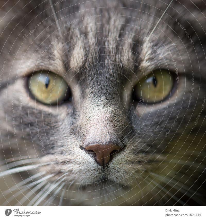 Mein Name ist Bond Häusliches Leben Tier Haustier Katze Tiergesicht 1 Blick warten Coolness kuschlig Partnerschaft anschauend Nase Haare Fell Erwartung