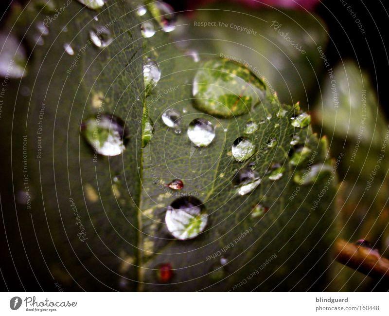 Wieder so ein langweiliges Tropfenbild von mir Tränen Regen Wassertropfen Blatt glänzend Reflexion & Spiegelung grün Makroaufnahme nass Leben Garten frisch