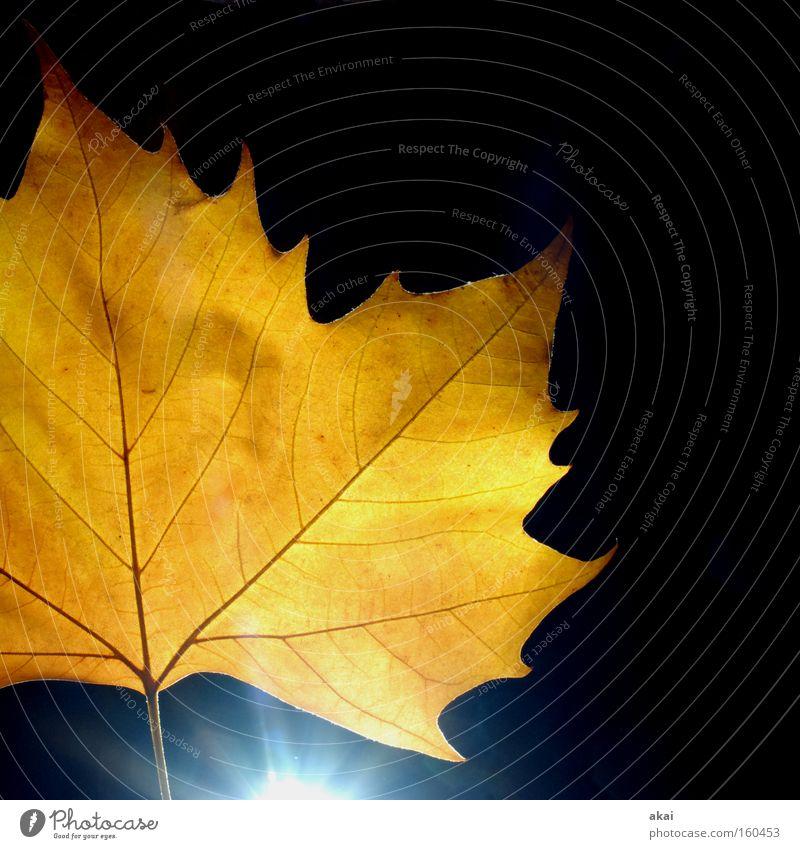 Das Blatt 33 Ahorn Ahornblatt Pflanze Urwald Natur Botanischer Garten Stengel Gegenlicht Makroaufnahme akai