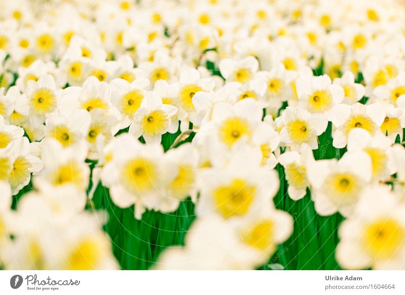 Narzissen im Feld Natur Pflanze weiß Blume gelb Frühling Blüte Garten Design Park elegant Dekoration & Verzierung Fröhlichkeit Blühend Lebensfreude Schönes Wetter