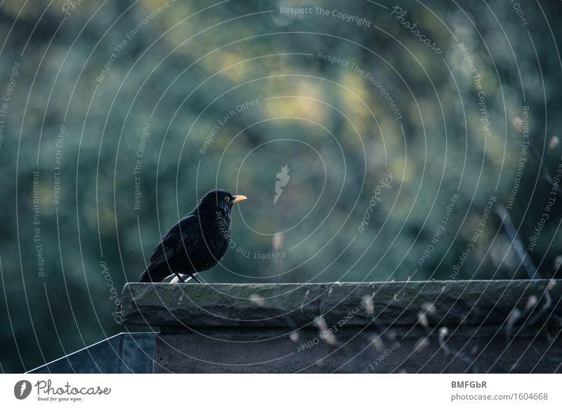 Einsame Amsel Tier Wildtier Vogel 1 sitzen Gefühle Traurigkeit Trauer Tod Sehnsucht Fernweh Einsamkeit Volksglaube Endzeitstimmung Nostalgie Umwelt