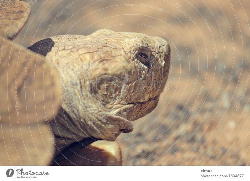 E.T. - der Rückzug Körperpflege Haut Gesicht Schildkröte Schildkrötenpanzer Riesenschildkröte Reptil Dinosaurier fossil Urzeit Blick schlafen stehen alt