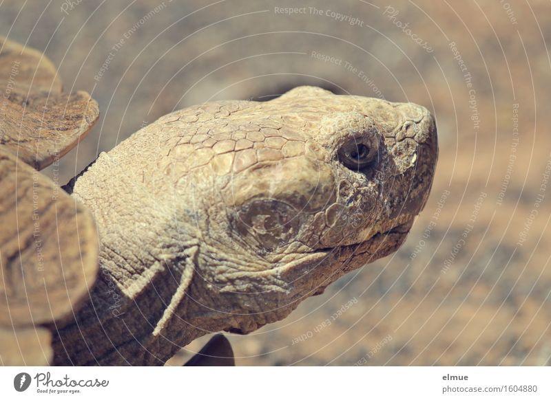 E.T. - die Erkenntnis Körperpflege Haut Schildkröte Schildkrötenpanzer Riesenschildkröte Reptil Dinosaurier fossil Urzeit Blick dehydrieren alt nah trocken