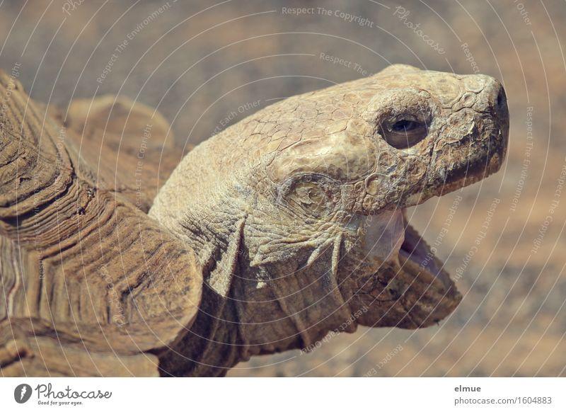 E.T. - die Kontaktaufnahme Schildkröte Riesenschildkröte Schildkrötenpanzer Reptil Orangenhaut Hautfalten Blick schreien bedrohlich authentisch gruselig