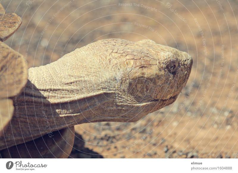 E.T. - die Neugier Schildkröte Riesenschildkröte Reptil Kopf fossil Steinzeit Dinosaurier Orangenhaut Blick alt außergewöhnlich gigantisch gruselig