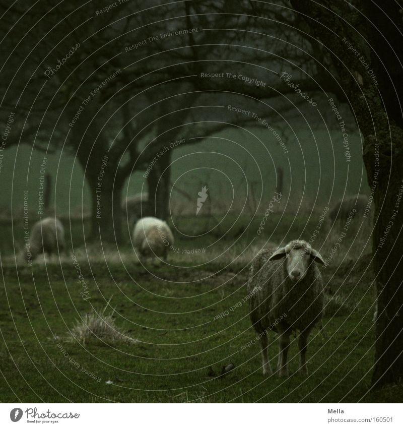 Voll Schaf Baum grün dunkel Wiese trist Weide Fressen Säugetier Tier trüb schlechtes Wetter