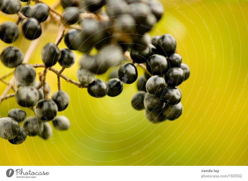 Holunder Baum grün Pflanze schwarz Herbst Gesundheit Sträucher Beeren Gift Weintrauben Oktober Frucht Holunderbusch