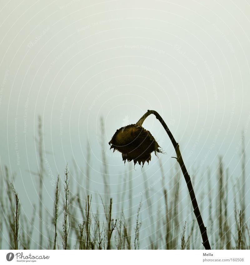 summer's end II Blume Sonnenblume vertrocknet verdorrt verblüht Tod Gras Herbst Winter Trauer Verzweiflung Traurigkeit welk