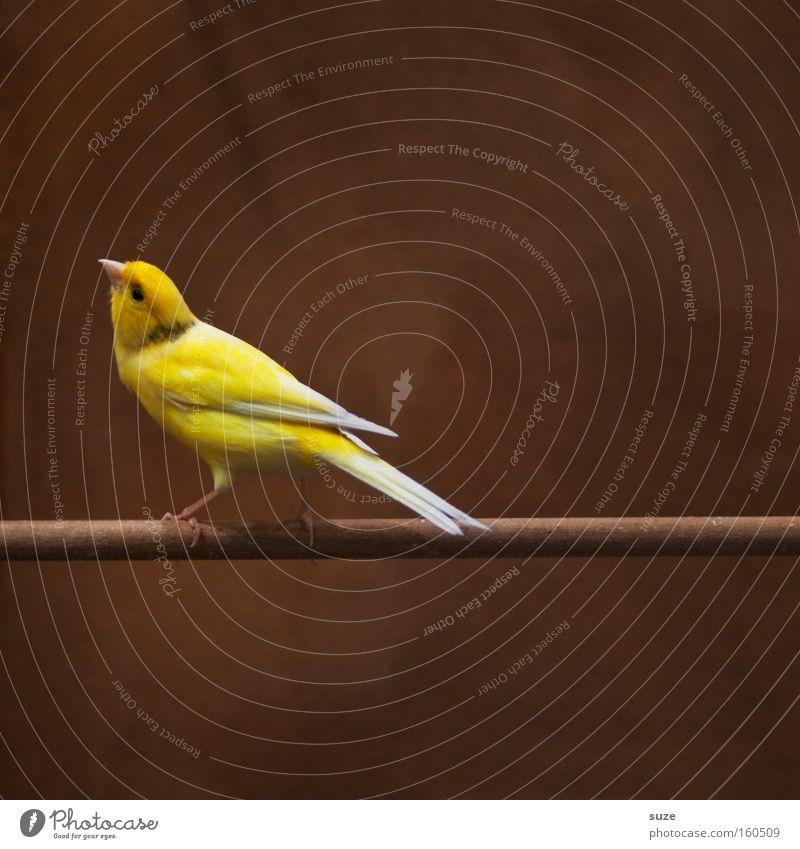 Hans Guck-in-die-Luft schön Einsamkeit Tier gelb lustig klein braun Vogel sitzen authentisch warten Feder Neugier Konzentration Haustier tierisch