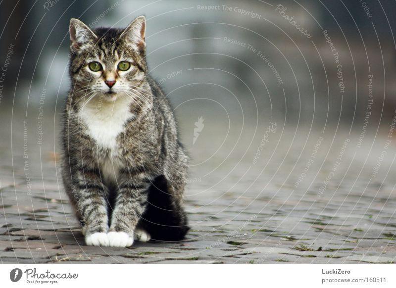White Gloves Katze Stadt Handschuhe Pfote weiß Schwanz Kopfsteinpflaster kalt gehorsam Auge grün grau Einsamkeit Säugetier getiegert