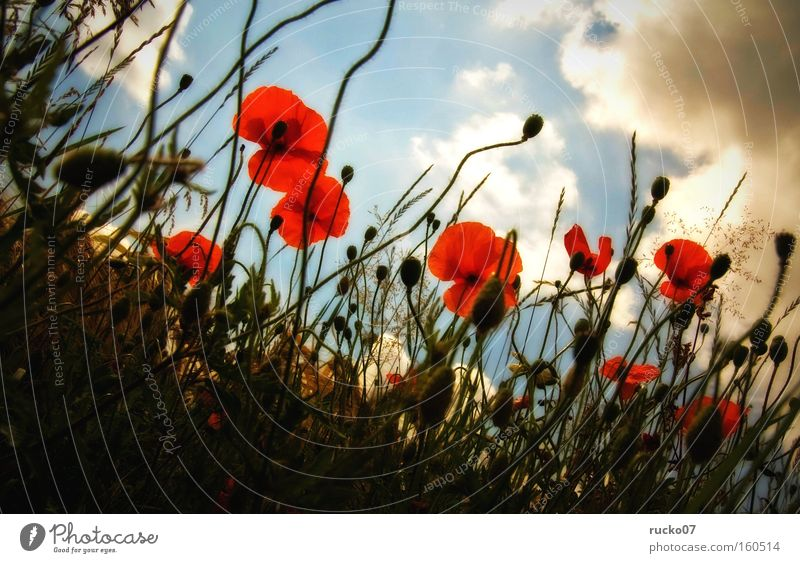 Mohn-amour Natur Himmel Blume blau Pflanze rot Sommer Wolken Wiese Blüte Perspektive Mohn Halm Klatschmohn