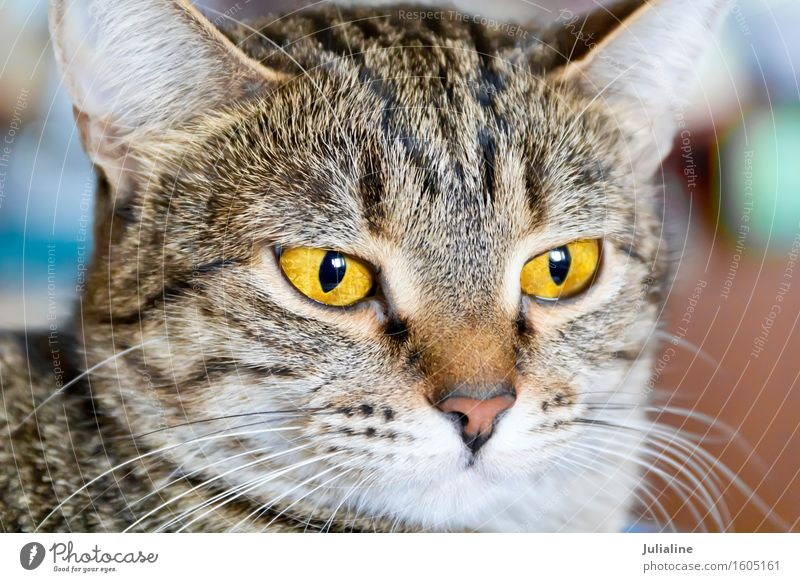 Foto von Katzenporträt Tier Oberlippenbart Haustier 1 Streifen gelb grau Säugetier Auge Backenbart Koteletten Farbfoto